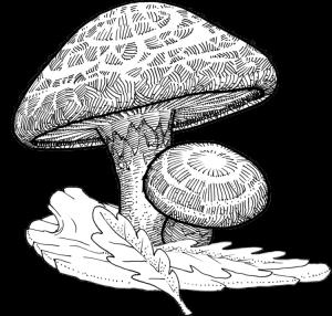 Lentin du chêne, alias Shiitaké – lentinula edodes