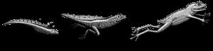 Transformation du têtard en grenouille (Pidapi 2016)